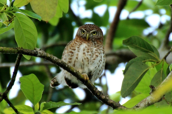 Cuban Pygmy Owls were not the least bit shy about being photographed.