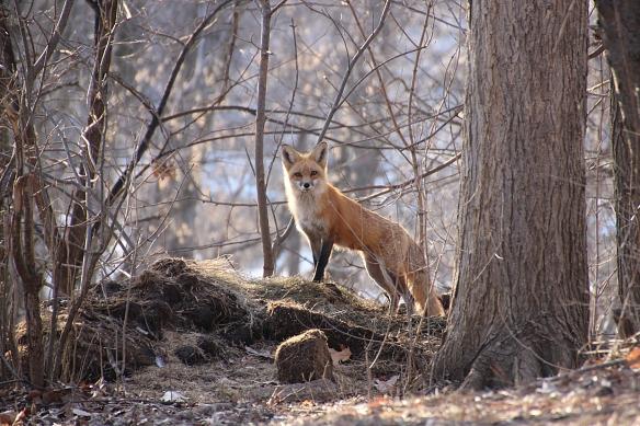 red fox 0403