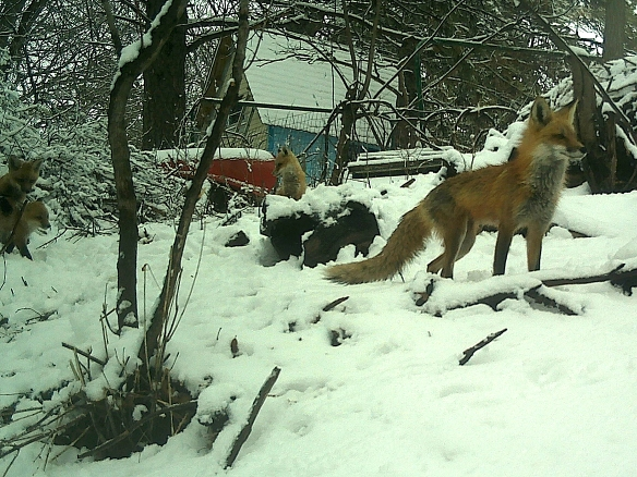 Mother Fox keeps a watchful eye either from the den entrance or the top of the compost pile to the far right.
