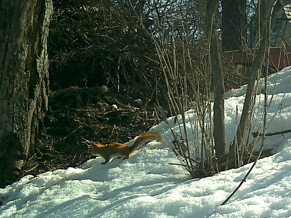 It would have been interesting to see how the foxes responded to this brave red squirrel that ran right in front of the den, but they were not home at the time.