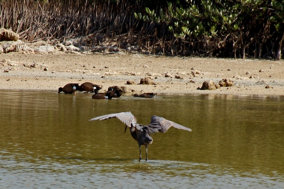 Drying pools in the La Salina area of the Zapata peninsula are favorite foraging areas for North American migrant waterfowl.  A Reddish Egret performs his hunting dance in the foreground.  Blue-winged Teal are in the background.