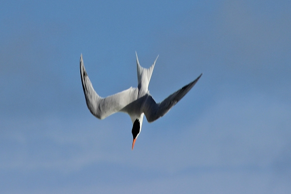 Flying overhead and looking down, Royal Terns quickly flip into diving posture, barely get wet as they glance off the  ocean surface, and take off again.