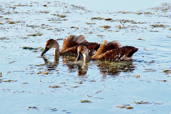 I'm not sure what the significance of the raised wing feathers is.  The ducks were too busy eating to do much posing.