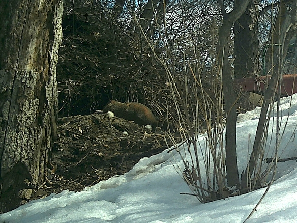 A potential usurper of den space, this woodchuck spent several minutes here checking out a potential nest site for itself.
