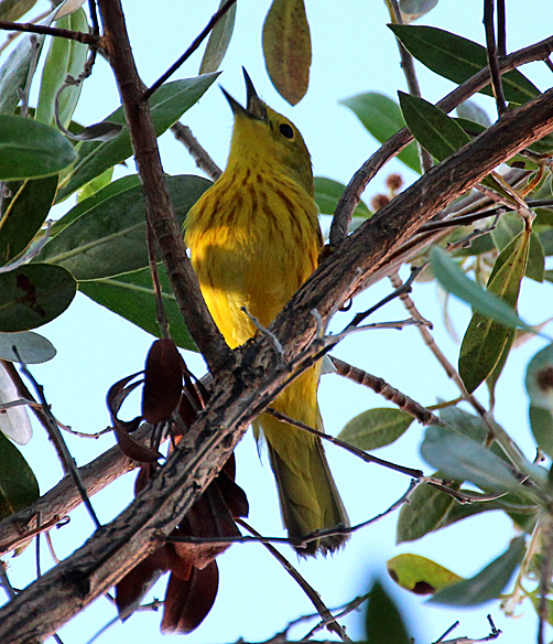 A Yellow Warbler male warming up with morning song