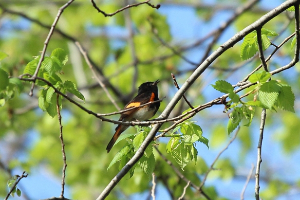 American Redstart males are teases.  They sing right in your face, and fly off when you raise the camera.  That, and the fact that they don't sit still makes it tough to get a good photo (see someone else's photo for more detail below)