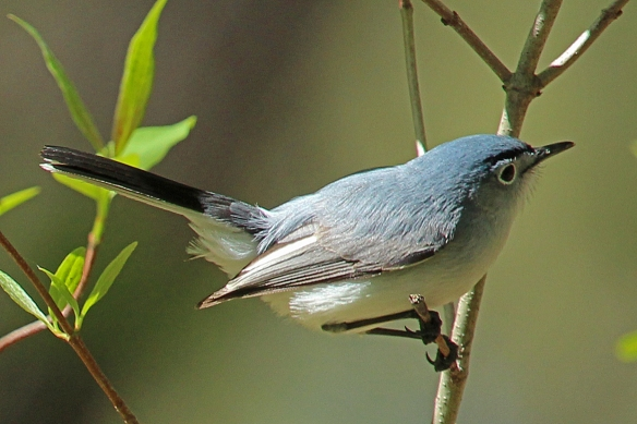 Blue-gray gnatcatchers were in league with the Redstart males -- flitting continuously from branch to branch.  This one almost flew out of the photo.  Even though it was in the top right corner of the frame, it was still in focus.