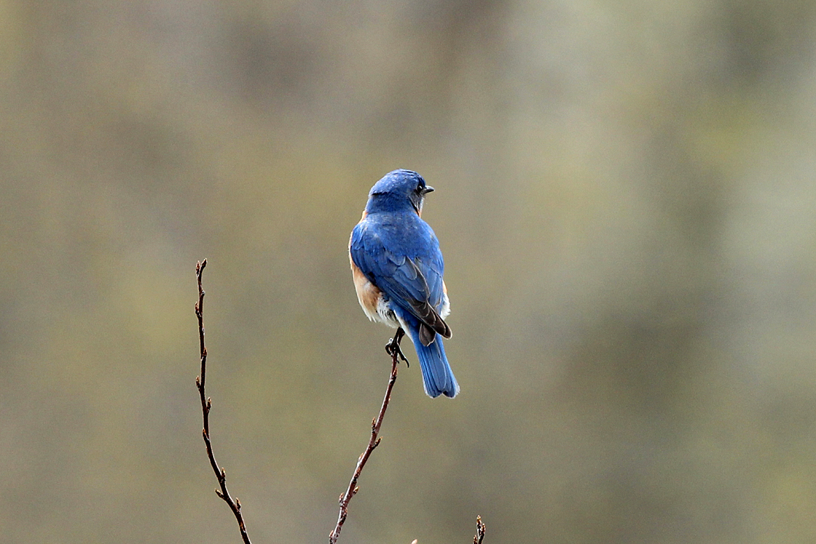 Blue Bird Flying Away