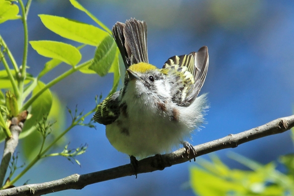 A Chestnut-sided Warbler whose chestnut sides have not quite developed (perhaps a first year male).  He was either in the process of taking off or landing.