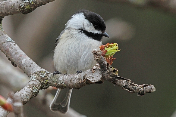 Chickadees apparently get some nutrition from pecking at unopened buds of Buckeye.