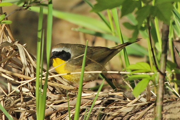 More commonly, the Yellowthroat is found in low vegetation, searching under fallen debris for its hidden meal.