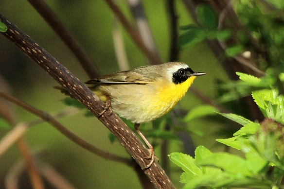 "This one gets the ""cuteness"" award -- Common Yellowthroat, which poses on branches now and then, but prefers to dig around in the tall grass for bugs."
