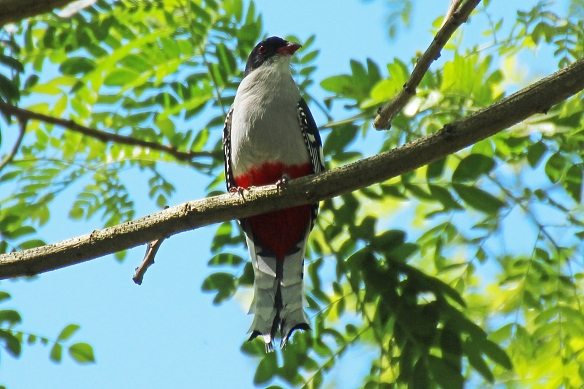 The bird trails at Sierra del Chorillo would through open pasture and woods where we saw some of our favorite endemic species, like the Cuban Trogon and Pygmy Owl.