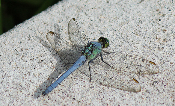 eastern-pondhawk-blue male