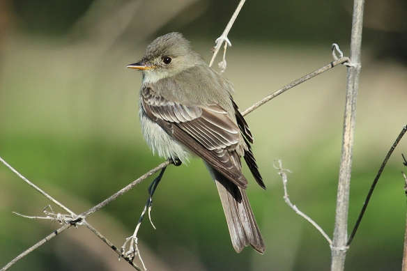 A very cute flycatcher, one of many in the genus Empidonax that you can't tell apart unless you hear and know their song.