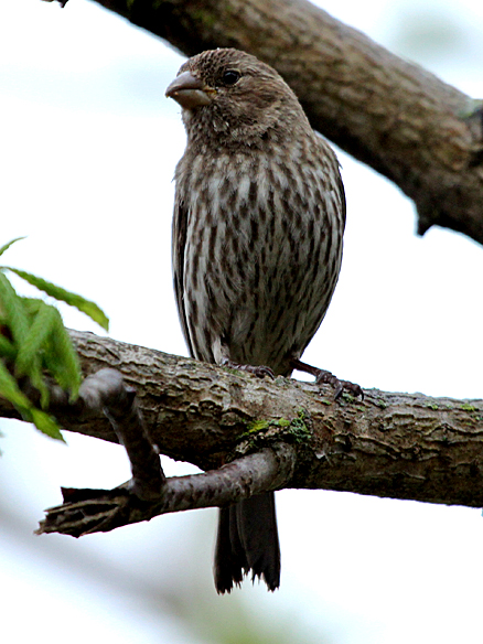 Female House Finches have some nice stripes, but no accent colors.
