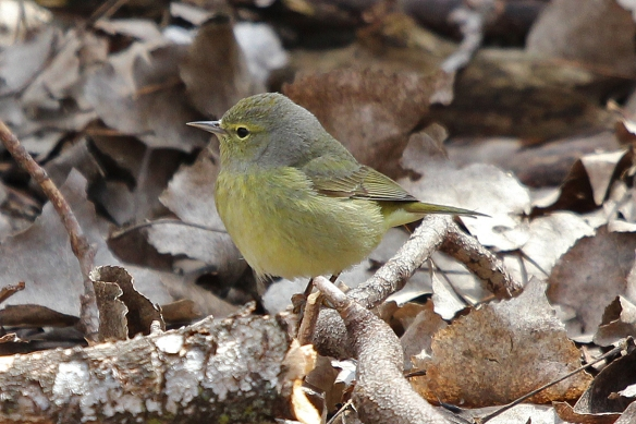 female orange crowned warbler