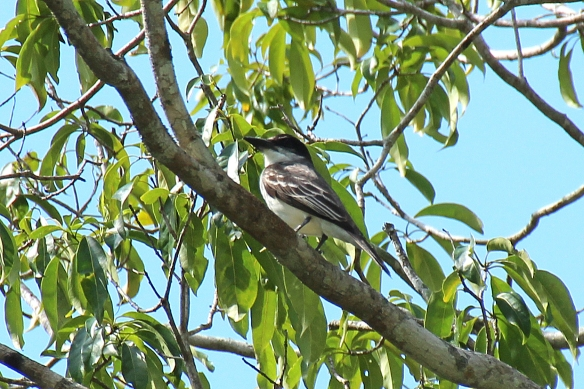 A new endemic species we encountered at Sierra del Chorillo, the Giant Kingbird, distinguished by its very large, thick bill and black head.