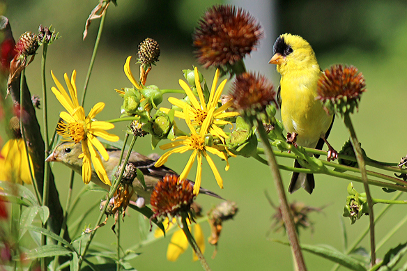 A photo from last summer illustrates the plumage difference between male and female Goldfinches, as well as their preference for perching on the flower heads to harvest the seed.