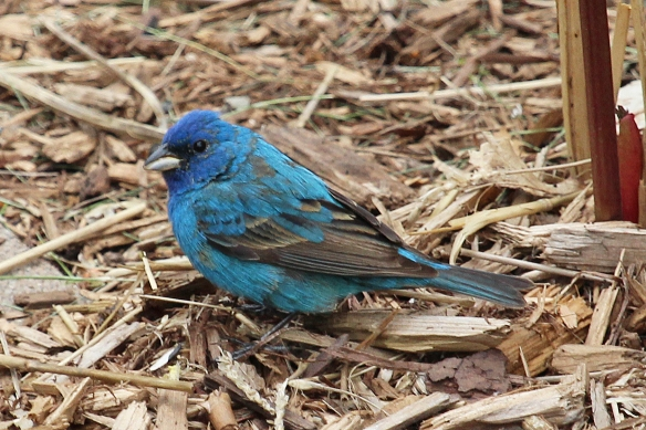 Blue color ranges from purplish on the head to turquoise on the belly feathers in this Indigo Bunting.  The primary wing feathers lack those light reflecting air spaces, probably because it might weaken them for the flight function.