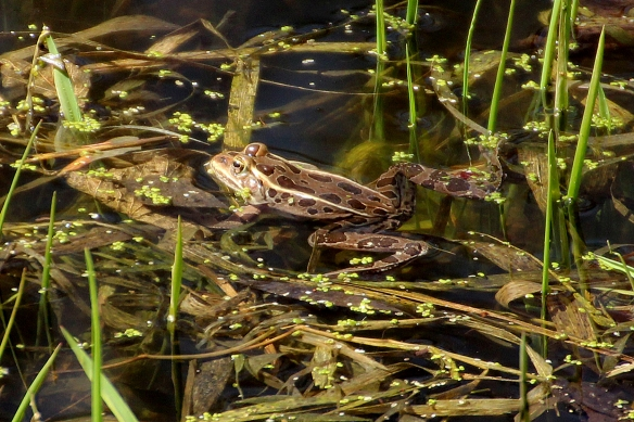 Leopard frogs made very low intensity calls, very infrequently, and I couldn't really see where the sound was coming from (no obviously inflated pouches).