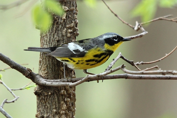 The white wing patch, black mask over the eyes, and black stripes down its yellow front are key diagnostic characters that identify this bird.