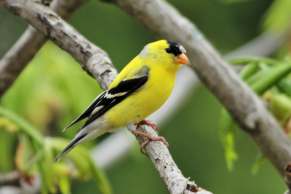 This male hasn't quite finished decking himself out in yellow and black, but he's close.