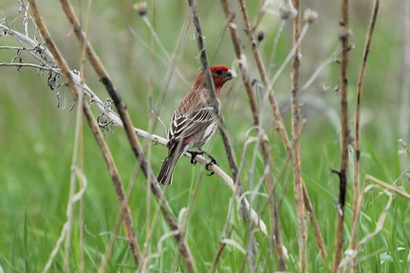 Male House Finches really stand out at this time of year.