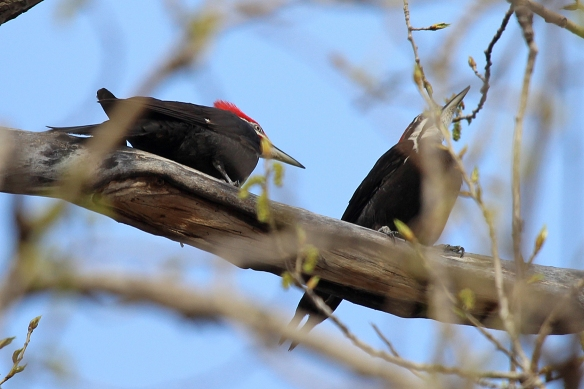 Mr. Pileated cautiously approaches his lady love.