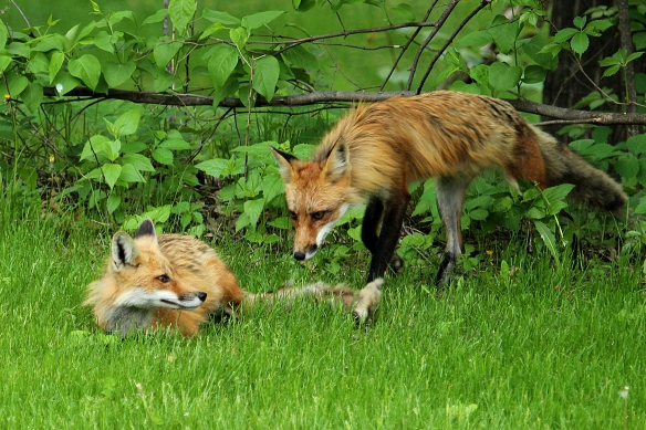 Interesting that the (first) fox on the left immediately assumed a submissive posture when the (second) fox on the right showed up.