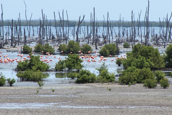 During the previous breeding season, 60-70,000 flamingo chicks were produced here.