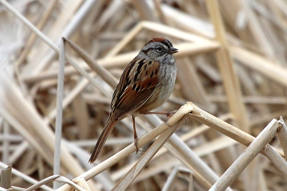 This Swamp Sparrow was singing up a storm, but it was hard to locate him among the dead cattail stems and grasses.
