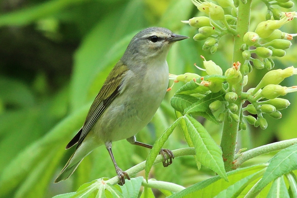 Tennessee Warblers are the plain Janes of the warbler world.  Their most recognizable feature is the fact that they have no outstanding features, except a faint white eye stripe.