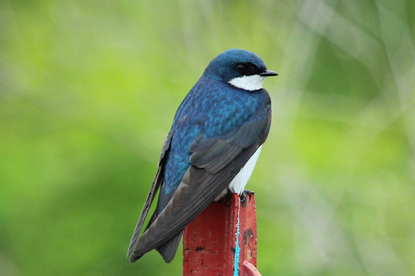 This Tree Swallow looks bluer than the previous one.  It might be older (first year birds are often more brown), or the incoming light might be oriented differently in the two birds.