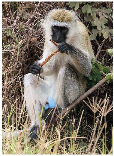 "Male vervet monkey showing off his blue scrotum.  In Simonis and Berthier, Intechopen.com article:  ""How Nature produces blue color"""