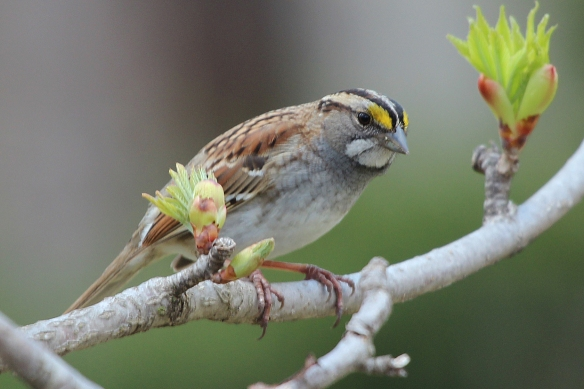 Male and female White-throated Sparrows look identical, but the first year birds have brown head stripes and lack the yellow spot above the eye.