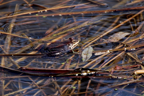 wood frog, Rana sylvatica