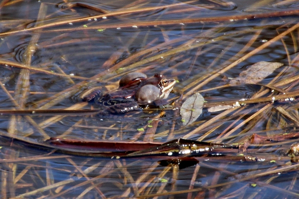 "Here the wood frog has inflated its vocal sacs during its ""quack"" call."