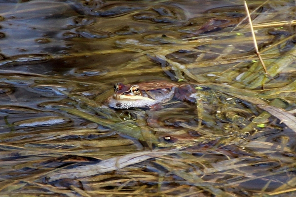 Wood frogs sit horizontally in the water Ilike the leopard frogs, emitting sort of a quacking call that sounds like it should be coming from a duck.