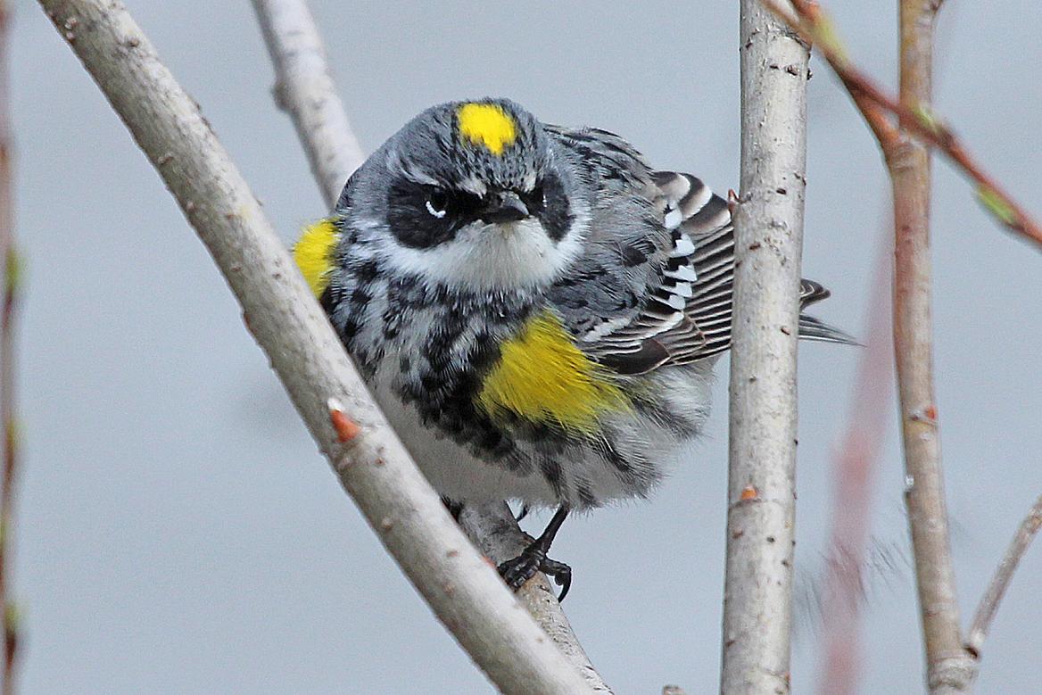 warbler migration | Back Yard Biology