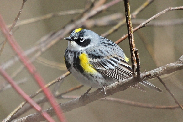 yellow rumped warbler-male-2