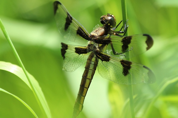 This female 12-spotted Skimmer has lost half of its hind wing, but it's doubtful that it comprises hunting success.