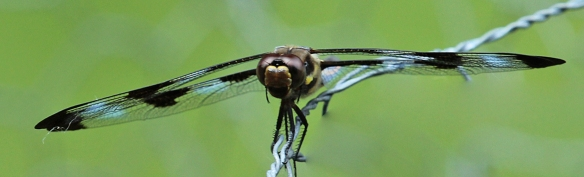 12-spotted skimmer profile
