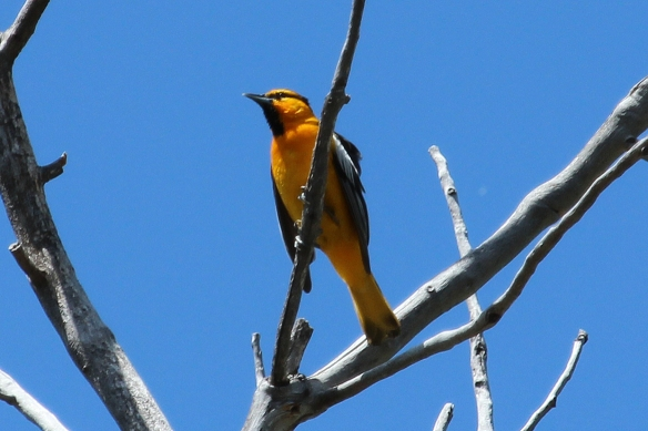 Bullocks Oriole are the western counterpart of the eastern Baltimore Oriole, but look quite different.