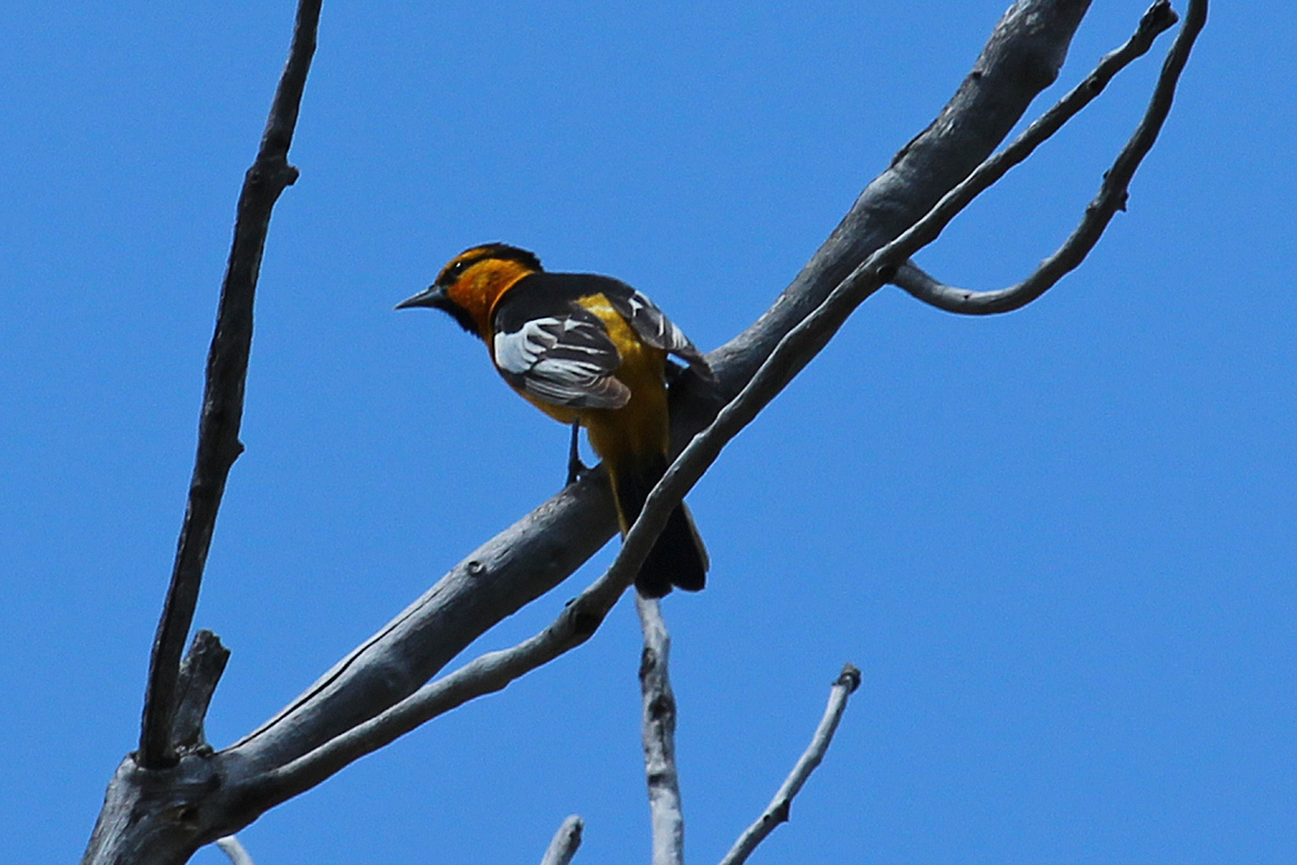 The white on the wing is more of a large patch than a wing bar (as it is in the Baltimore Oriole.