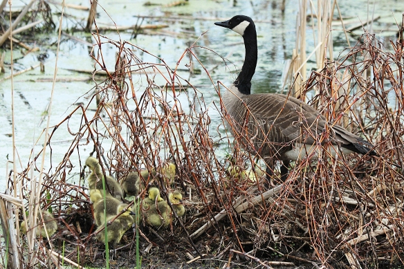 This Canada Goose nest was high enough to avoid the flooding that washed out nests of other geese.