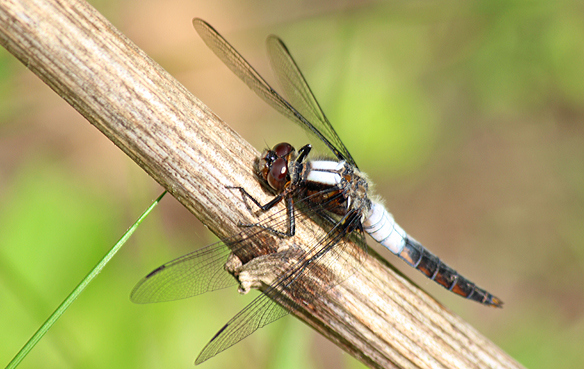Chalk-fronted Corporal with wings swept forward at rest.