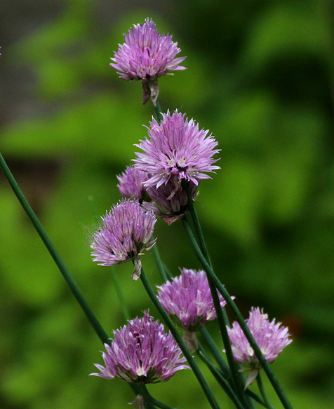 Chives are lavender, but that's a shade of purple.