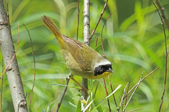 The black mask and yellow throat are the key features of the Common Yellowthroat warbler.