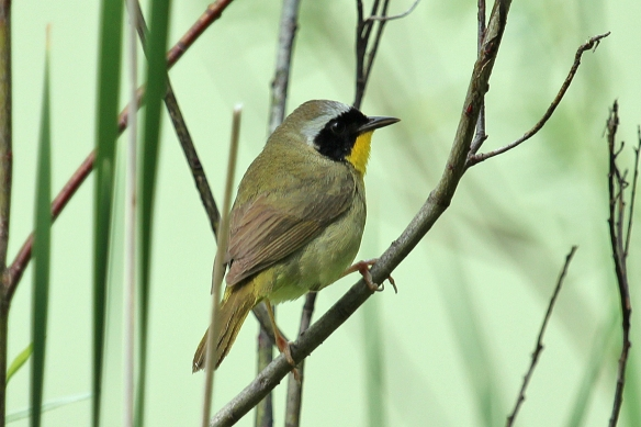 And then the sun that was lighting up that brilliant yellow throat went behind the clouds, and the photo shoot was over.